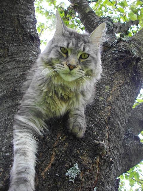 femelle maine coon black silver blotched tabby