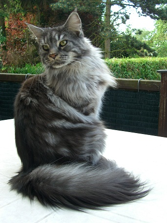 male maine coon black silver blotched tabby
