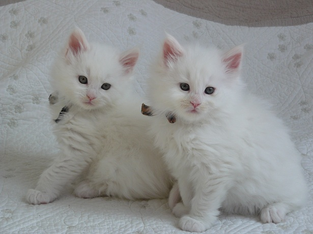 chatons maine coon blansc