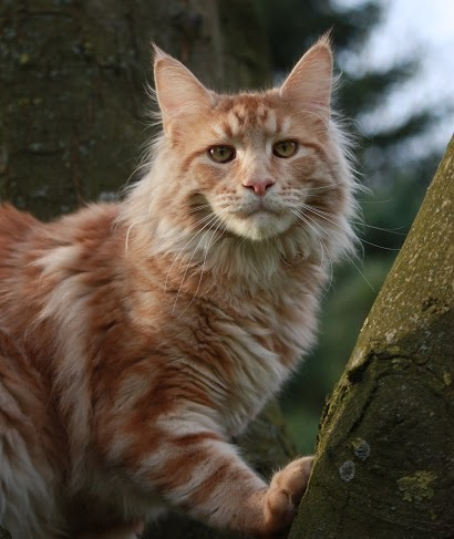 male maine coon red silver blotched tabby