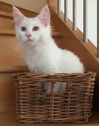 chatonne maine coon blanche