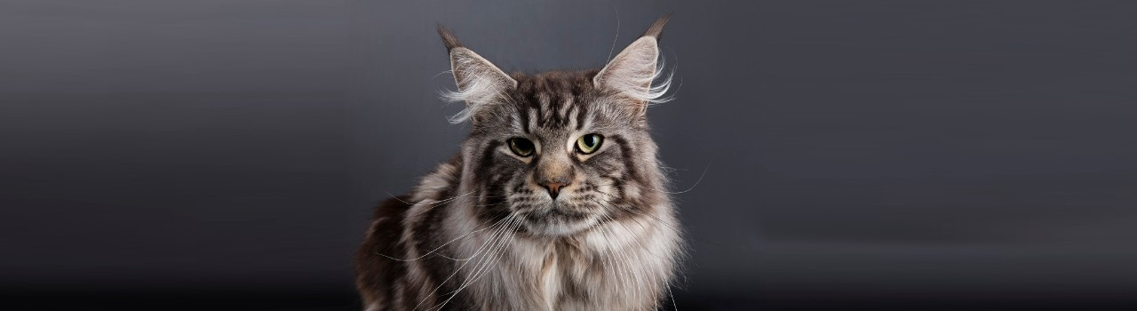 Joy du Maine Coon World