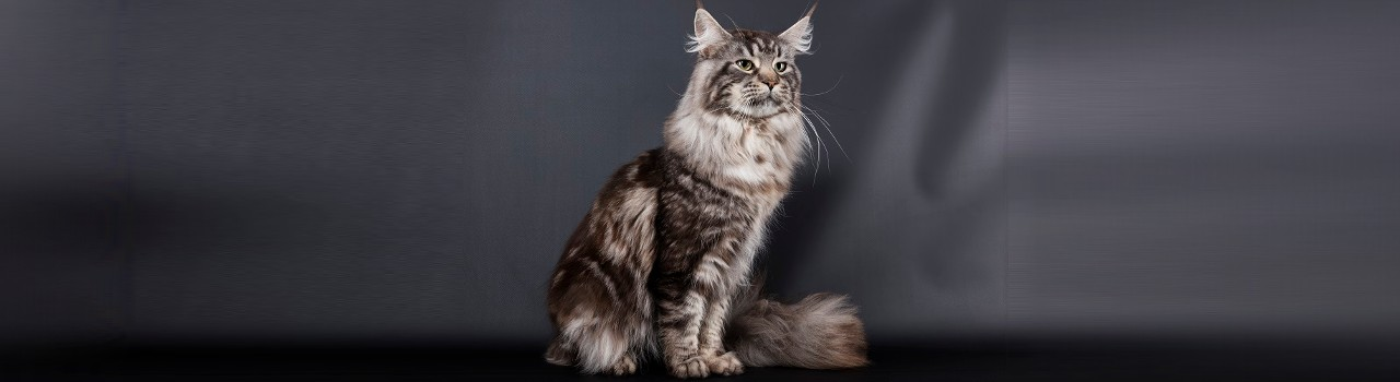Photo d'expo du maine coon
