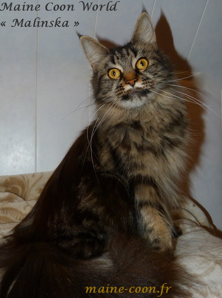 maine coon femelle brown blotched tabby