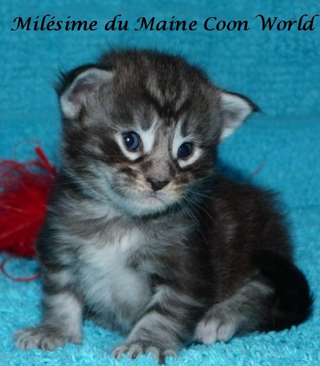 chaton de trois semaines black silver