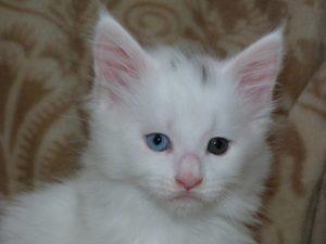 Chatonne maine-coon blanche âgée d'un mois et demi avec les yeux vairons