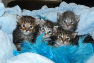 Chatons de la chatterie du Maine Coon World
