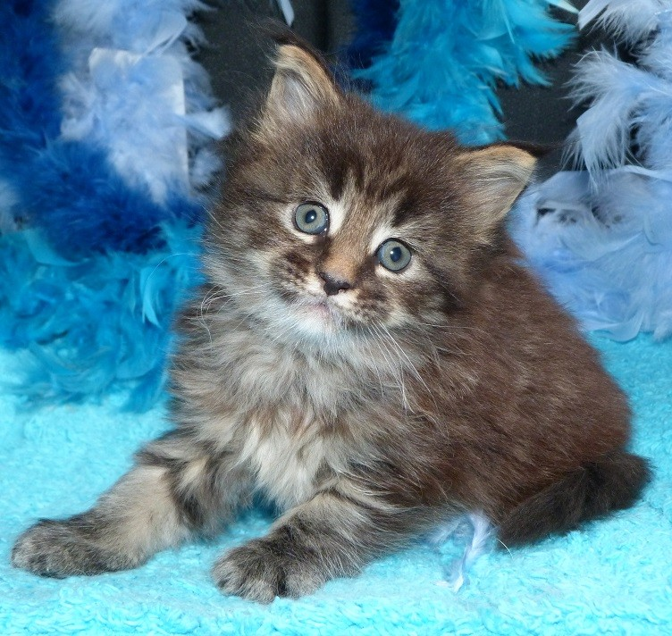 Malinska du Maine Coon World femelle brown blotched