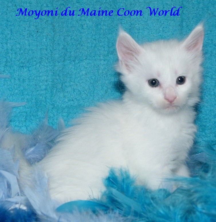 Moyoni du maine coon world male maine coon blanc