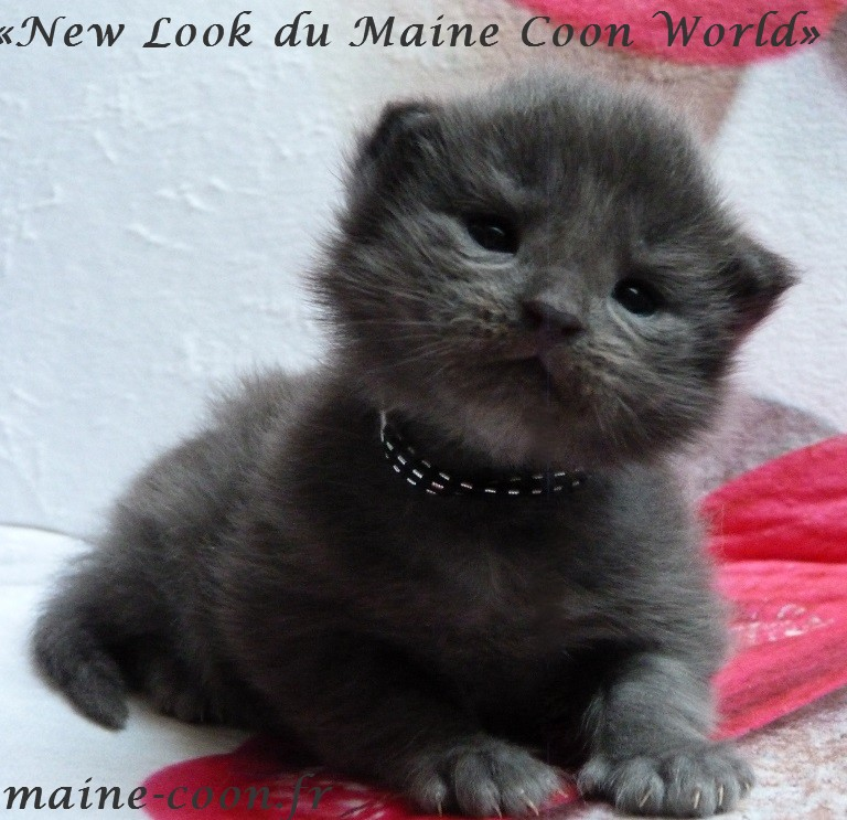 chaton maine coon bleu smoke