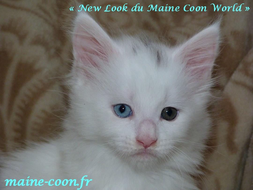 chatonne maine coon blanche âgée d'un mois et demi avec des yeux vairons