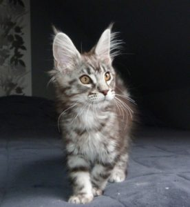 chaton maine coon black silver