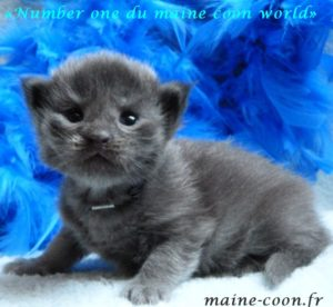 chaton maine coon bleu smoke