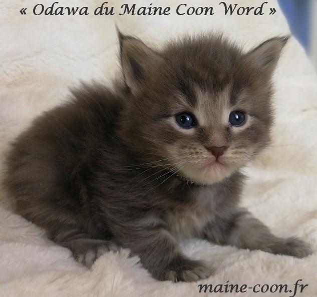 chaton maine coon d un mois bleu blotched tabby