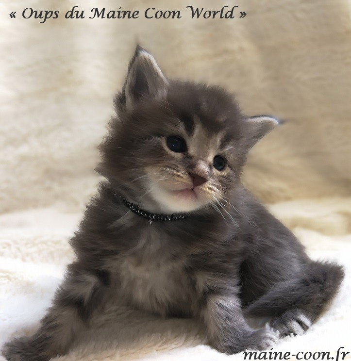 oups du maine coon world chaton maine coon bleu blotched tabby 1 mois