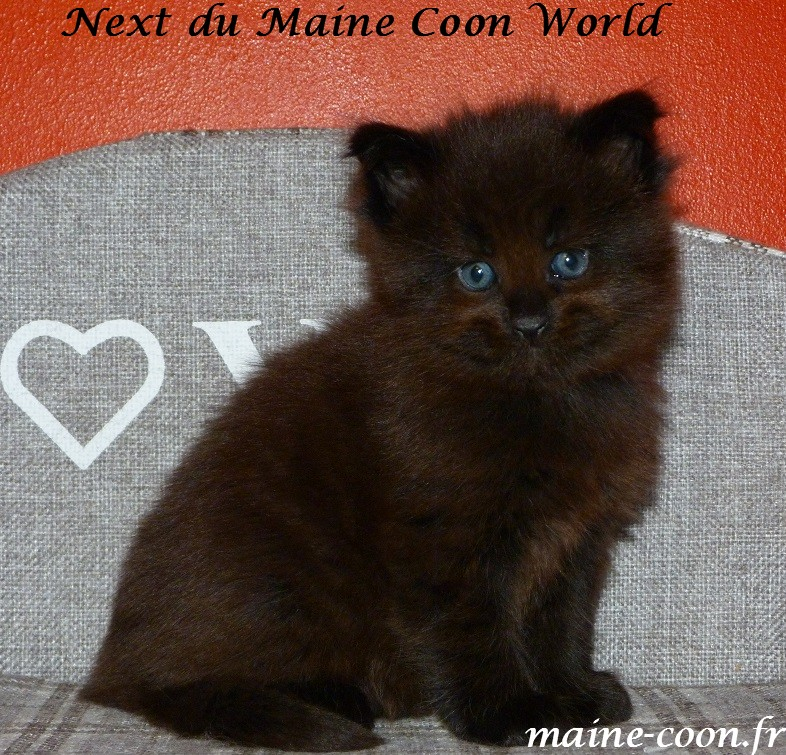 chaton maine coon black solide