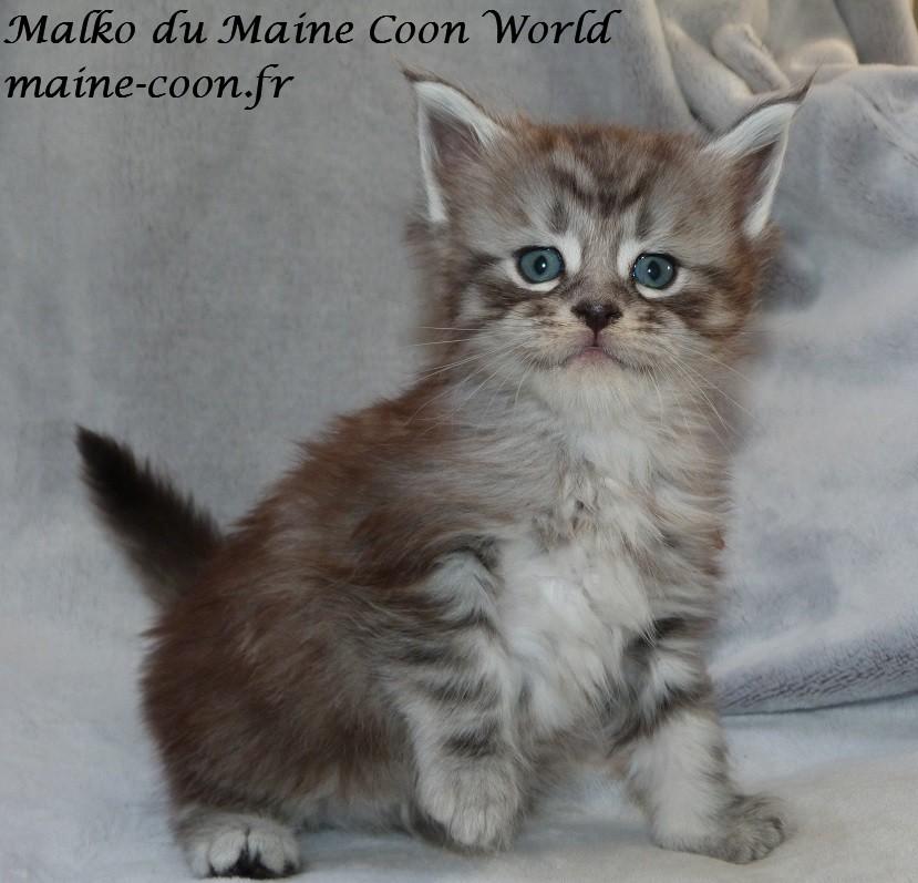 chaton maine coon âgé d'un mois et demi