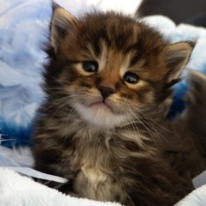 chaton brown blotched tabby d'un mois