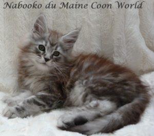chaton maine coon black silver blotched tabby âgé de deux mois.