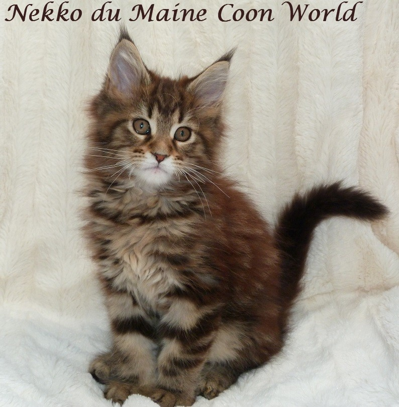 chaton maine coon brown blotched tabby
