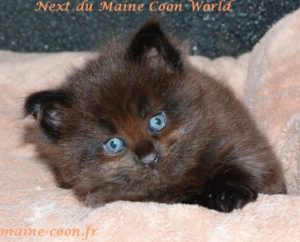 chaton maine coon black