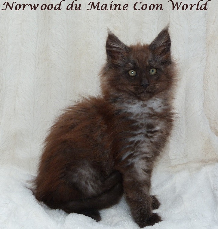 chaton maine coon black smoke âgé de deux mois.
