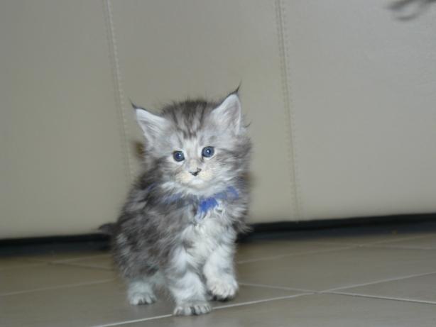chaton black silver âgé de deux mois