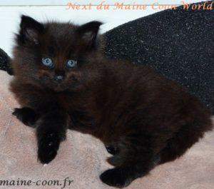 chaton maine coon black de deux mois
