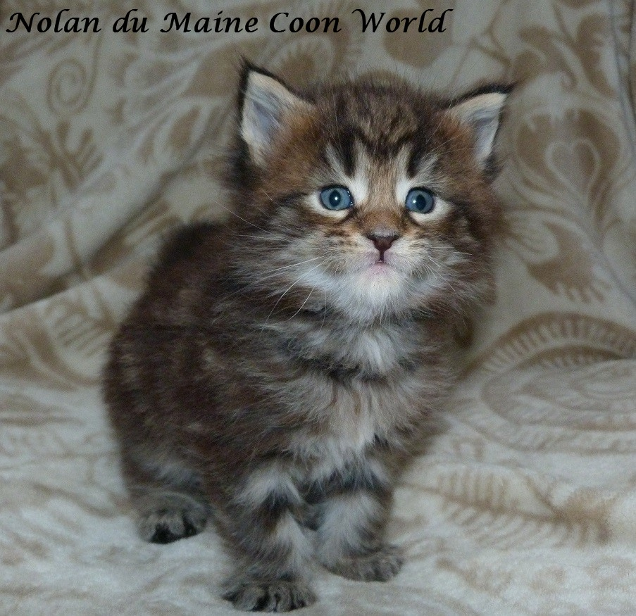 chaton maine coon brown blotched