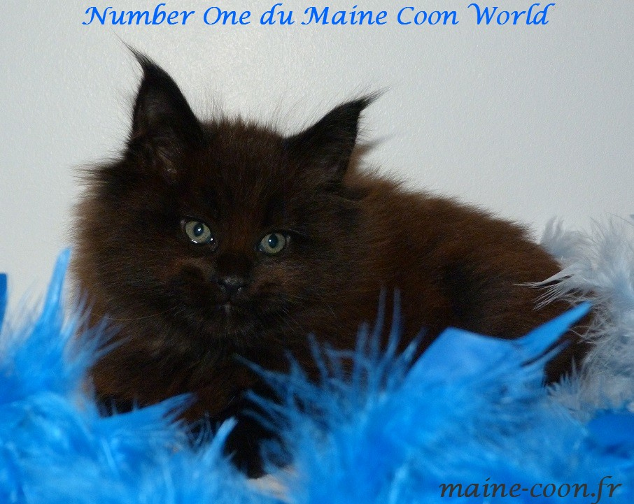 chaton maine coon black