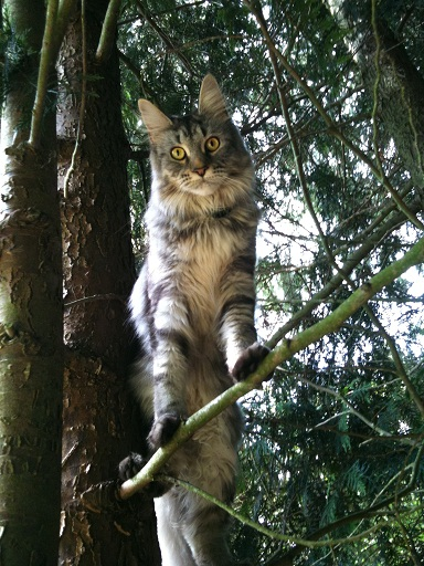 femelle maine coon black silver