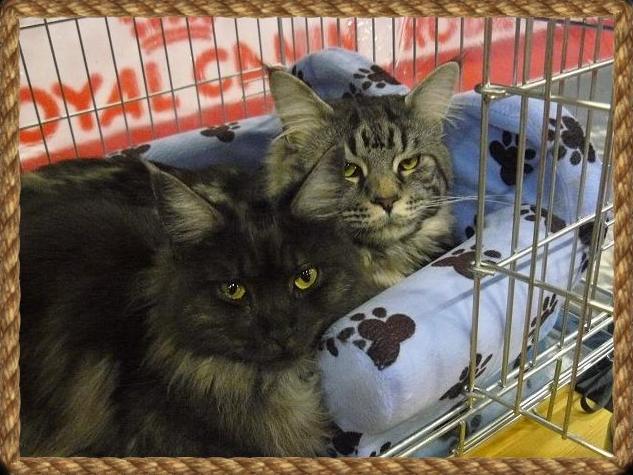 calamity et charly du maine coon world maine coon en exposition féline