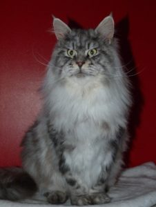 hebene male maine coon black silver