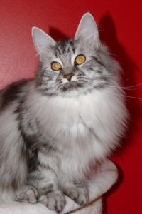 In Lov. du Maine Coon World e femelle maine coon black silver