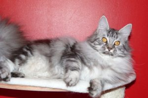 In Love du Maine Coon World femelle black silver