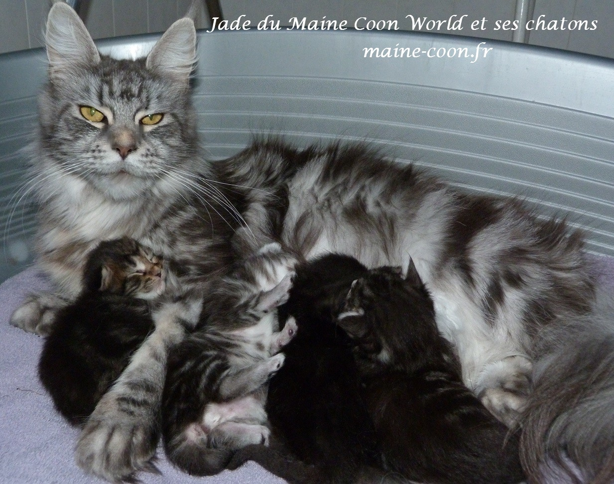 Jade et ses chatons maine coon