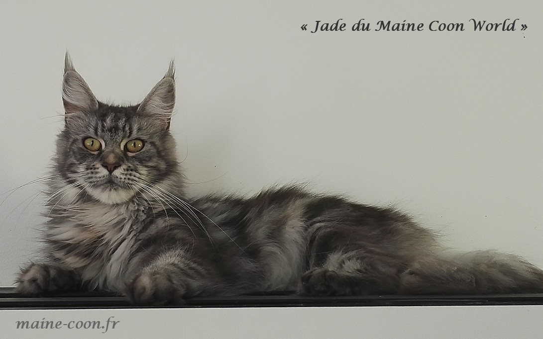 Jade du maine coon world femelle maine coon black silver blotched tabby