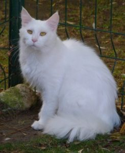 femelle maine coon blanche