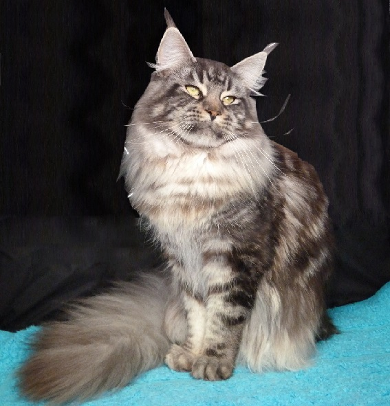 Joy, maine coon black silver