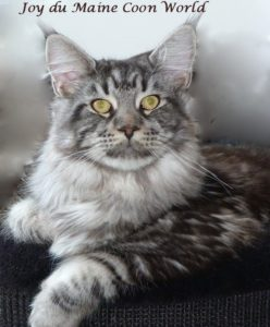 male maine coon black silver adulte