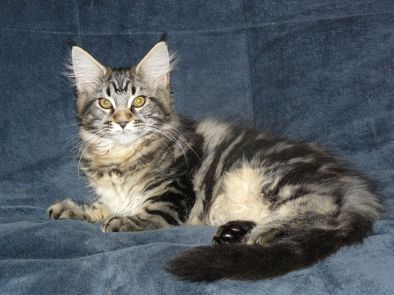 photo d'un maine coon brown