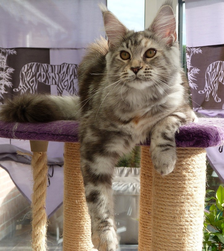 femelle maine coon black silver blotched tabby tortie