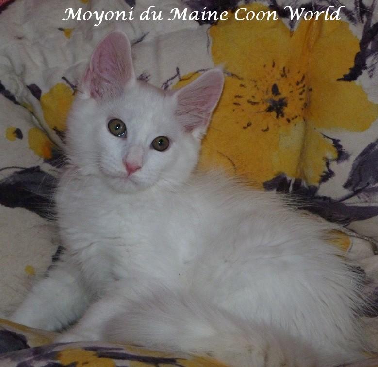 Un chaton maine coon blanc : la pureté à l'état brut