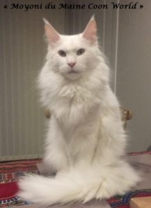 maine coon adulte blanc