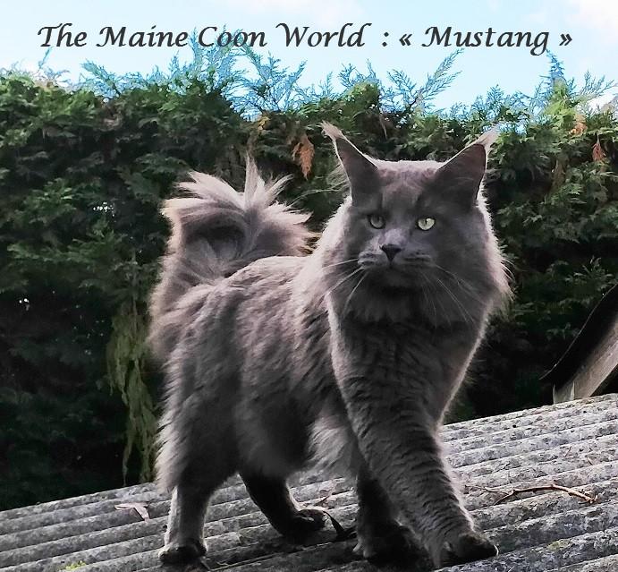 maine coon word Mustang maine coon mâle bleu de 18 mois