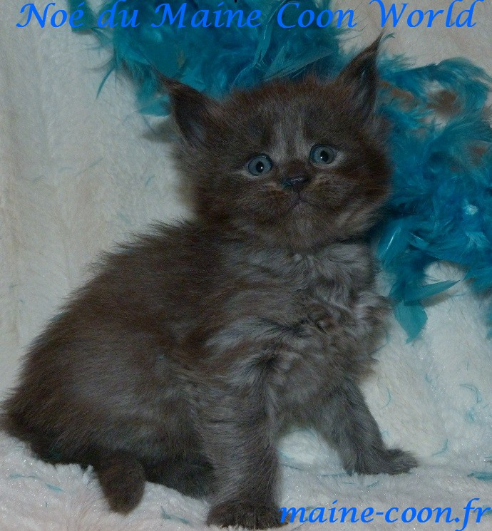 chaton maine coon bleu