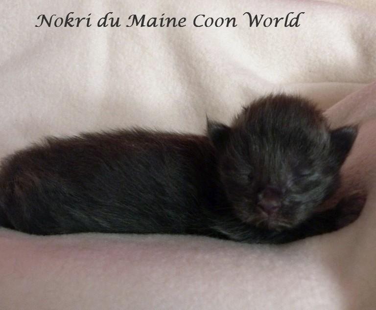 chaton maine coon bleu d'une semaine