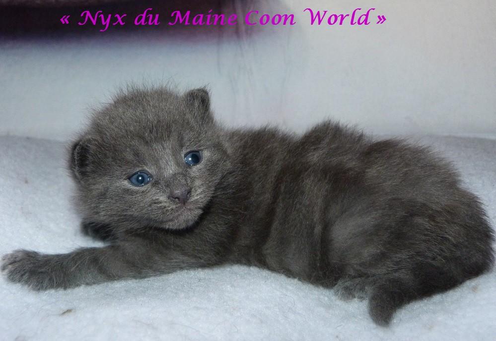 chatonne maine coon âgée de 16 jours bleue