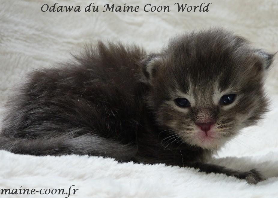 chaton maine coon bleu tabby
