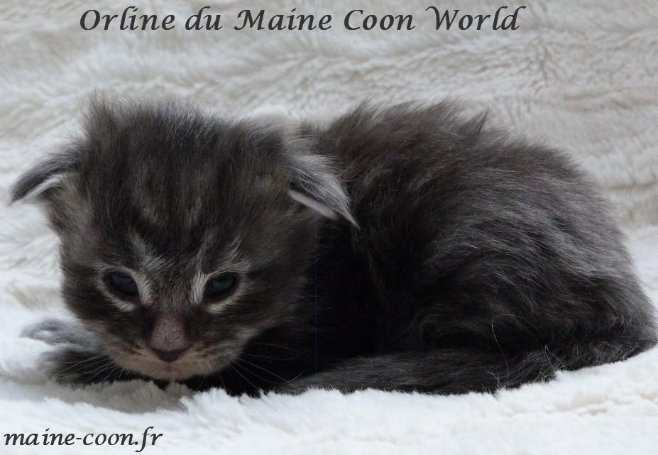 chatonblack silver blotched tabby de deux semaine